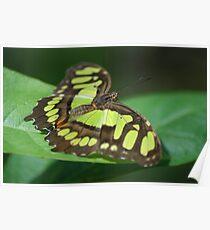 Malachite Butterfly (Siproeta stelenes) - Costa Rica Poster