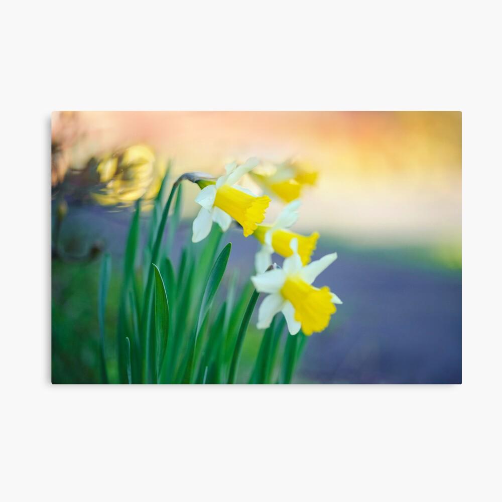 Daffodil Day... Canvas Print