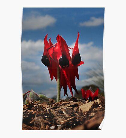 Swainsona Formosa - Sturt's Desert Pea Poster
