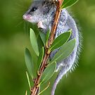 Australian Pygmy Possum by Dianne English