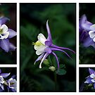 Aquilegia by Magee