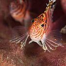 Hawkfish pair - Lembeh Straits by Stephen Colquitt