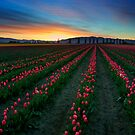 Tulip Garden at sunrise, Pacific Northwest by Tomas Kaspar