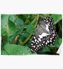 The pastel clour moth Poster