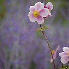 Pink Anemones on Purple by Matthew Folley