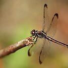 Dragonfly by CarmenLygia