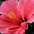 Hibiscus Beauty Portrait by Deborah  Benoit