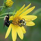 yellow daisy by ANNABEL   S. ALENTON
