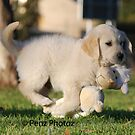 Baby Golden Retriever. by Penny Brooks
