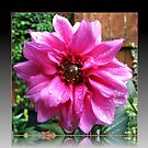 Sparkling Raindrops on Vibrant Pink Dahlia by BlueMoonRose