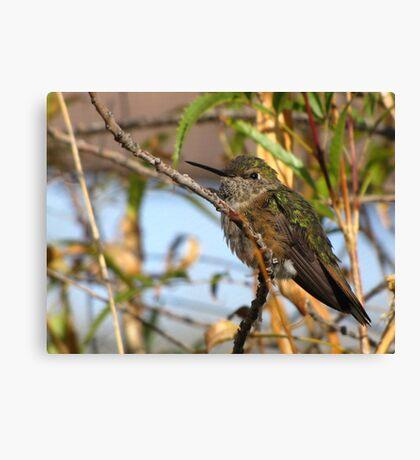 Allen's Hummingbird ~ (Subadult Male) Canvas Print