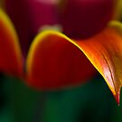 Tulip Tears by Luke and Katie Thurlby