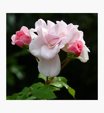 Delicate pink roses Photographic Print