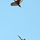 Sacred ibises in flight by Anthony Goldman