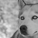 Husky by EventHorizon