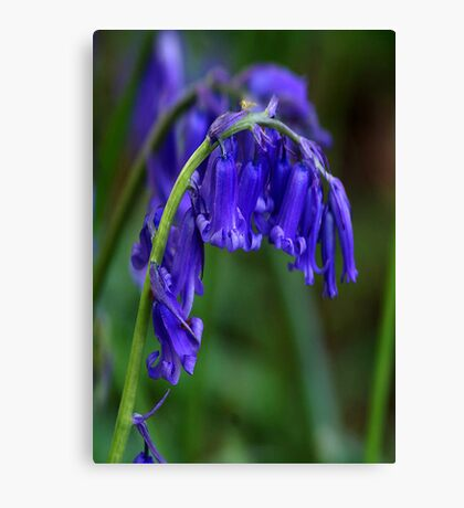 Bluebell  (Spring) Canvas Print
