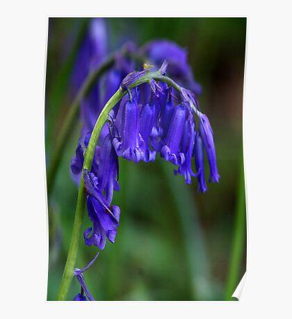 Bluebell  (Spring) Poster