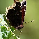 Dappled and Leafy Mourning Cloak by Wolf Read