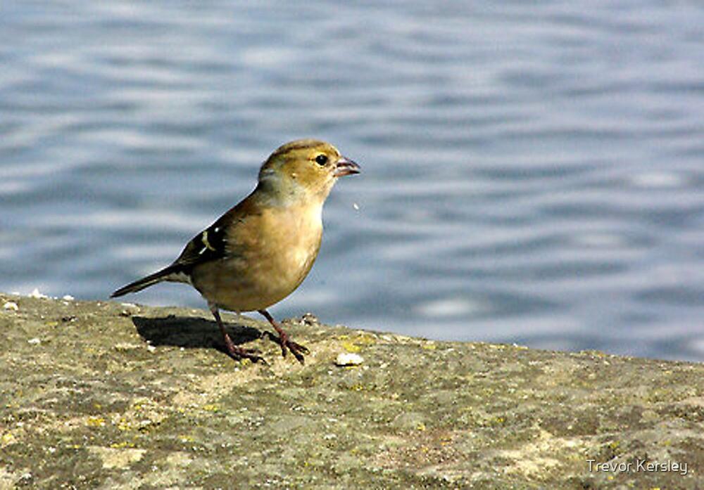 Finch by Trevor Kersley