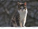 Beautiful Calico-Tabby Feral Cat by Chriss Pagani