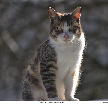 Beautiful Calico-Tabby Feral Cat by Pagani