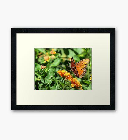 Butterfly ~ Gulf Fritillary Framed Print