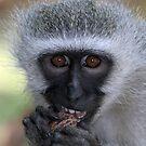 Vervet monkey enjoying his food by Anthony Goldman