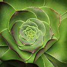 Green Aeonium by Ellen Cotton