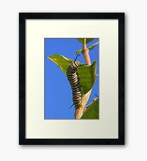 Monarch Caterpillar    Framed Print