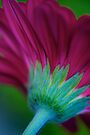 Magenta Gerbera by Extraordinary Light