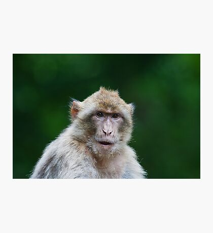 Barbary macaques  Photographic Print