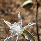 Algarve: Sea Daffodil by Kasia-D