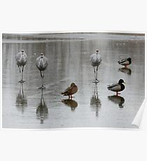 Sandhill Cranes On Ice, With Some Mallards Poster