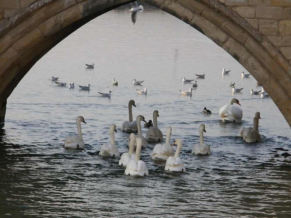 .......Swans a swimming by IngridSonja