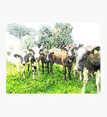 Cows Photographic Print