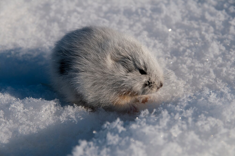 Quot An Arctic Lemming In The Spring Quot By Atlasthetitan Redbubble
