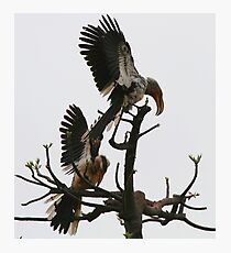 Hornbill Courtship Photographic Print