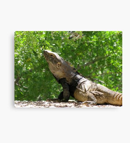 Sonoran Spiny-tailed Iguana ~ 3 (Male) Canvas Print