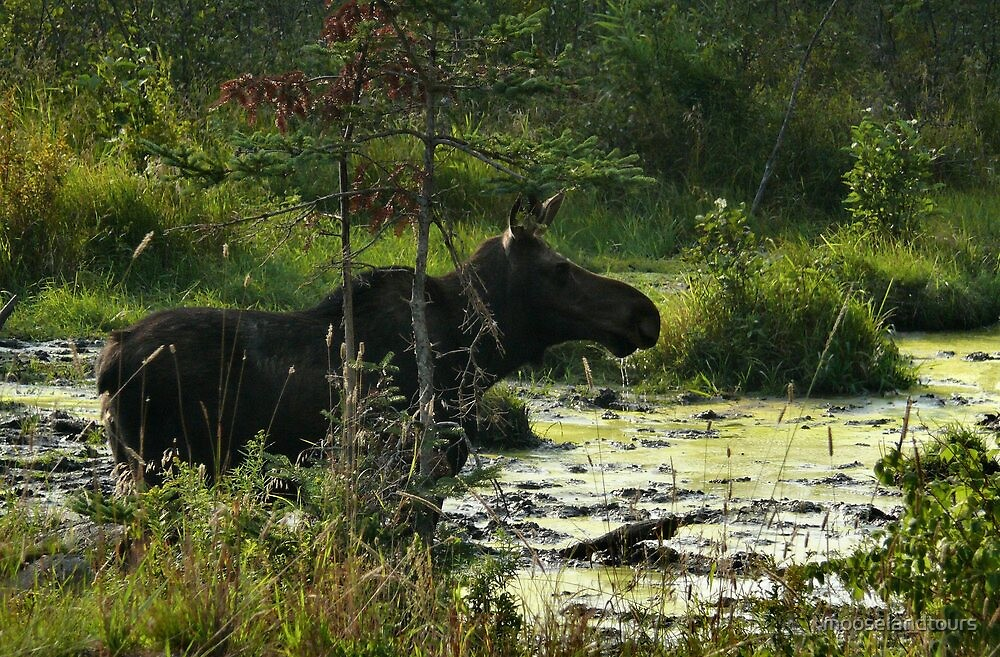 Cow Moose In Bog by mooselandtours
