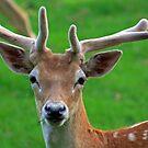 Fallow Deer, June 2019 by RedHillDigital