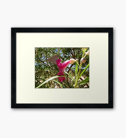 Butterfly ~ Gray Hairstreak (Male) Framed Print