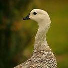 Upland Goose by naturalnomad