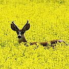 Deer in the Canola Field by Alyce Taylor