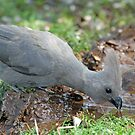 Grey lourie(go-away) bird quenching thirst! by Anthony Goldman