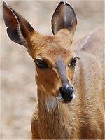 THE ELEGANT BEAUTY OF THE BUSHBUCK MOTHER - Bushbuck – (Tragelaphus scriptus) by Magriet Meintjes