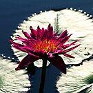 Lily's Dreams by Terri~Lynn Bealle