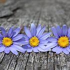 Three little daisies by fourthangel