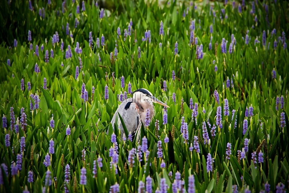 Great Blue Heron in Pickerel Weed by Gail Falcon