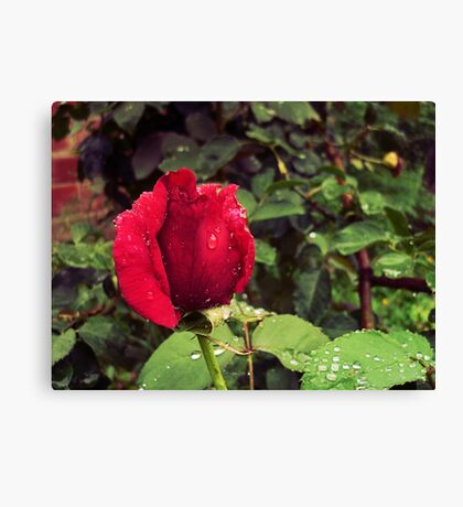 Dew Drops on Red Rose Petals Canvas Print