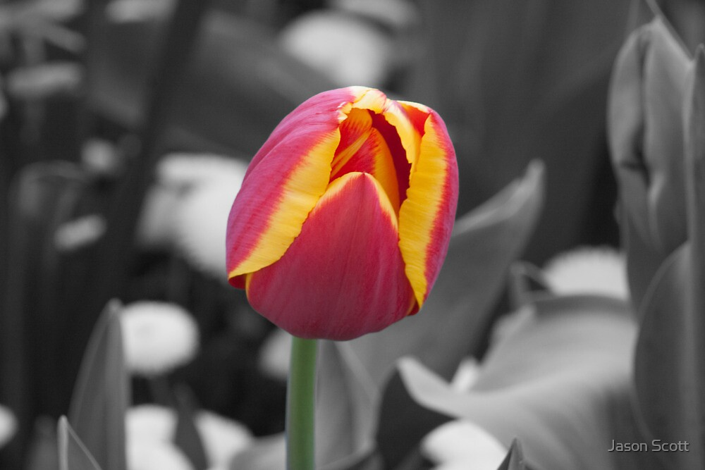 Tulip by Jason Scott